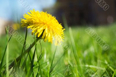 first dandelion
