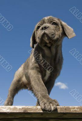 puppy  purebred italian mastiff
