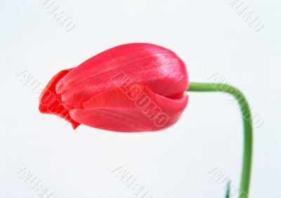 Beautiful red tulip