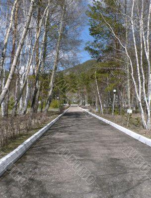 Birch avenue in the spring