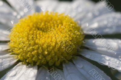 White daisy in dew
