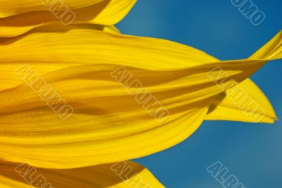 Macro: Sunflower Petals Agains a Blue Sky