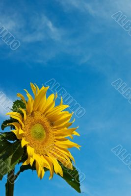 Sunflower Against a Cloudy Blue Sky With Plenty of Copy Space