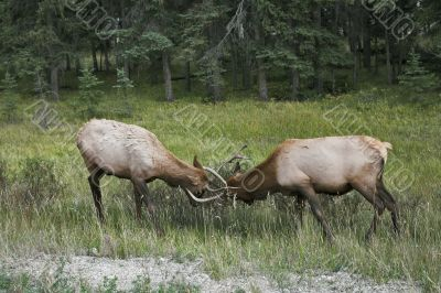 The conflict between two deers.