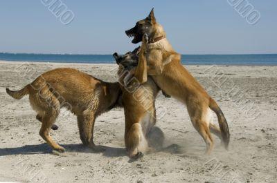 biting belgian shepherd
