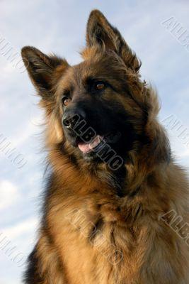 portrait of a purebred german shepherd