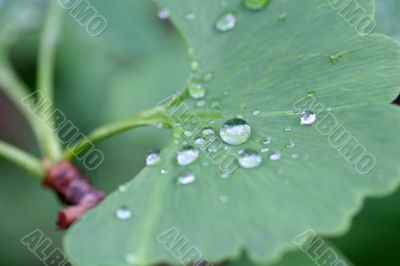 water drops of dew on green leaf. Macro shot