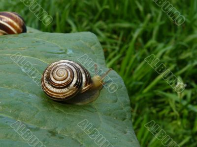 Snails on a foliage