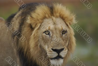 Lion male portrait in Kruger Park in South Africa