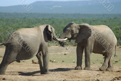 Fighting of two elephants males in South Africa