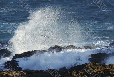 Seagull near a big wave in South africa