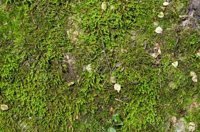 wet green moss background