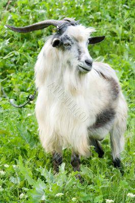 male goat grazing
