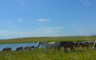 Herd of horses on a watering place