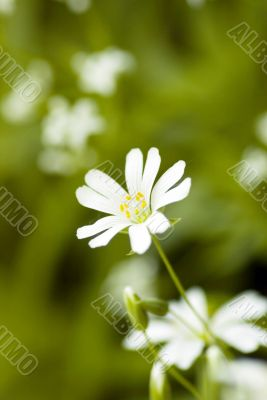 white beautiful flower on the green background and copy space fo