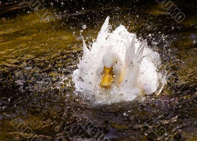White duck in a splash