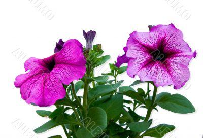 hothouse plant a petunia