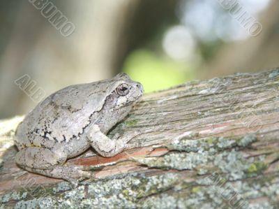 gray treefrog (hyla versicolor)  on a cedar tree