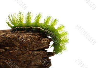 Scary Green Caterpillar
