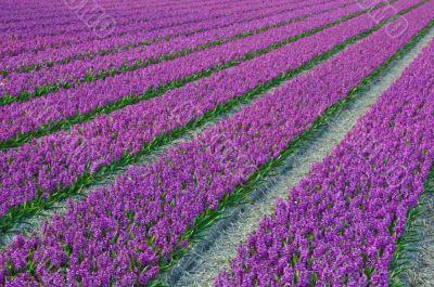 Bulb fields Holland