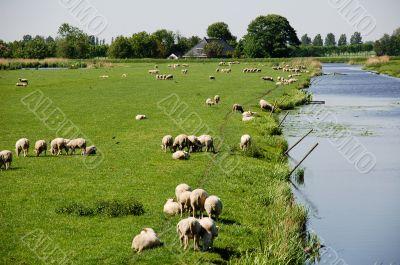 Sheep in dutch polder landscape