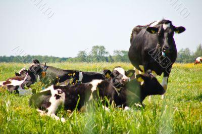 Dutch cows in dutch polder landscape
