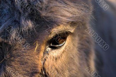 Donkeys eye