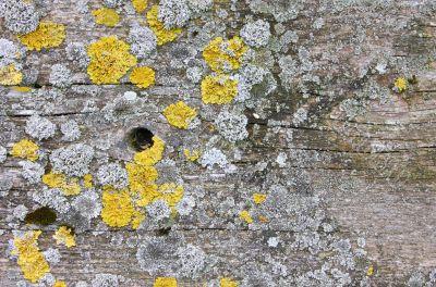 wood background with lichen