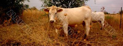 Cow in Israel