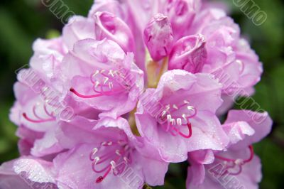 Rhododendrons in the parks