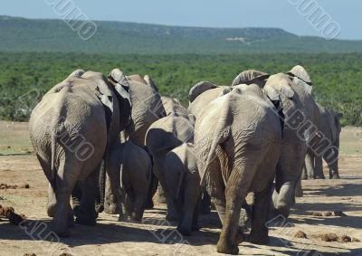 Group of elephants at Addo Elephant Park