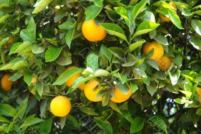 Lemon & Lime Tree