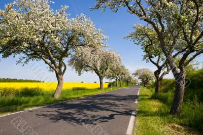 Landscape with blossom apple tree