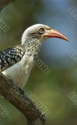 a young Southern yellow billed hornbil