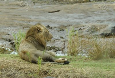 Lion male in Kruger Park south africa