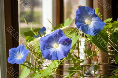 Three Morning Glory Flowers