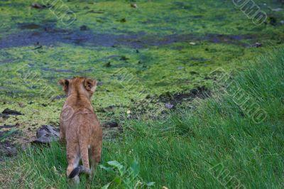 close-up of a cute lion cub