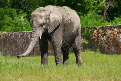 A full body of an African Elephant