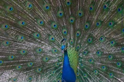 beautiful male indian peacock showing its feathers (Pavo cristat