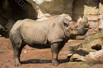 Rhinoceros in Zoo