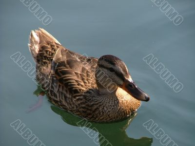 Duck And It`s Reflection