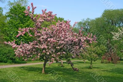 Beautiful blooming pink tree
