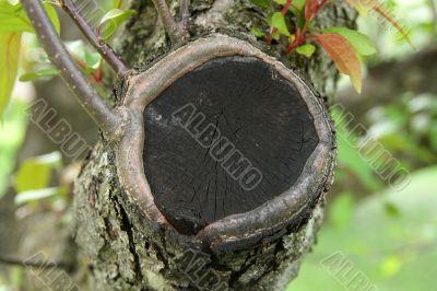 Closeup of a cut tree branch