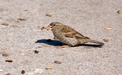 sparrow eats sunflower