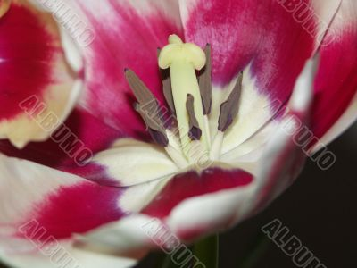 flower of a tulip close up