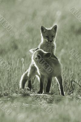 Fox kits playing