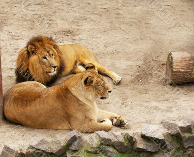 Lion and lioness have a rest