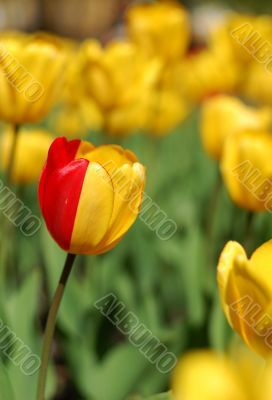party-colored yellow & red tulip
