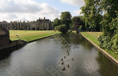 Flock of ducks on river Cam.