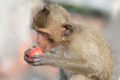 Monkey eating tomato